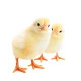 2 молодых цыпленока Стоковое Изображение