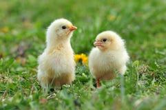 2 молодых цыплят Стоковое Изображение