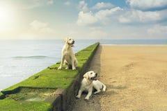 2 молодых щенят собаки retriever labrador сидя на стене Стоковые Фотографии RF