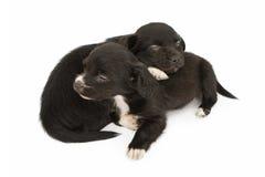 2 молодых щенят Snuggling Napping Стоковая Фотография RF