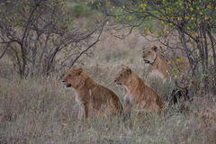 2 молодых льва и их мать на охоте стоковое фото rf