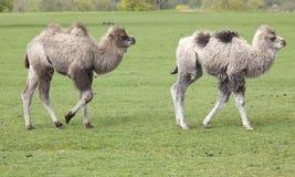 2 молодых Bactrian верблюда Стоковые Изображения RF