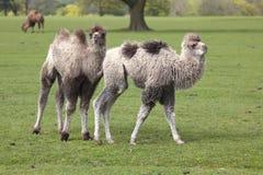 2 молодых Bactrian верблюда Стоковое Изображение RF