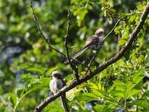 2 молодых longtailed синицы в дереве Стоковая Фотография RF