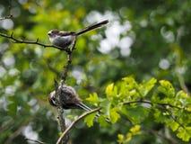 2 молодых longtailed синицы в дереве Стоковое Фото