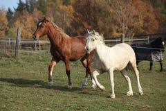 2 молодых ponnies бежать на pasturage совместно Стоковые Фотографии RF