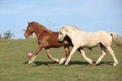 2 молодых ponnies бежать на pasturage совместно Стоковое Фото