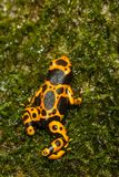 Мраморизованная лягушка дротика отравы Стоковые Фотографии RF