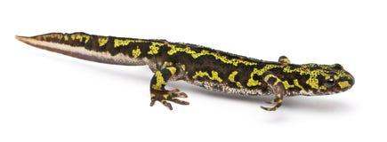 мраморизованный triturus newt marmoratus Стоковая Фотография