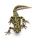 мраморизованный triturus newt marmoratus Стоковое Фото