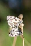 2 мраморизовали белых бабочек, galathea Melanargia, сопрягая Стоковое Изображение