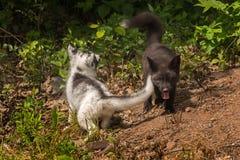 Мраморный и серебряный Fox (лисица) лисицы Yin и Yang Стоковые Изображения