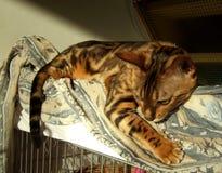 Мраморный ослаблять кота Бенгалии принятый дома Стоковые Фото