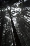 Мрачный сосновый лес Стоковые Изображения RF