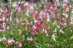 Мудрые розовые губы Стоковые Фото