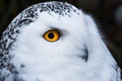 Мудрый выглядя белый снежный сыч с большим оранжевым портретом глаз стоковая фотография