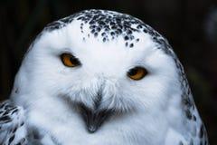 Мудрый выглядя белый снежный сыч с большим оранжевым портретом глаз стоковая фотография rf