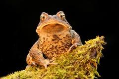 Мужская американская жаба (Bufo americanus) Стоковое Изображение RF