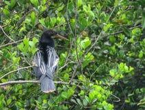 Мужская американская змеешейка сидя в дереве, болотистые низменности, Флорида стоковые фото