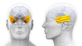 Мужская анатомия мозга височной доли - изолированная на белизне Стоковые Изображения