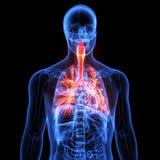 Мужская анатомия человеческой дыхательной системы в рентгеновском снимке 3d представляют Стоковое фото RF