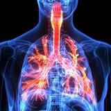 Мужская анатомия человеческой дыхательной системы в рентгеновском снимке 3d представляют Стоковые Фото
