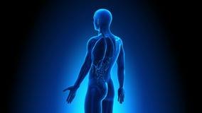 Мужская анатомия - человек вся развертка органов иллюстрация штока