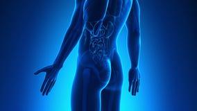 Мужская анатомия - человеческое двоеточие иллюстрация штока