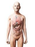 Мужская анатомия Стоковые Изображения