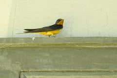 Мужская ласточка амбара на Lintel двери Стоковые Изображения