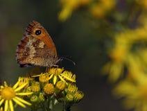Мужская бабочка привратника Стоковое Изображение