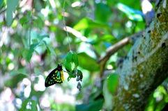 Мужская бабочка Birdwing пирамид из камней в aviary Стоковые Фотографии RF
