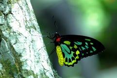 Мужская бабочка Birdwing пирамид из камней в aviary Стоковое Фото