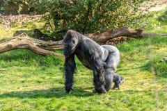 Мужская горилла бежать вокруг области в поисках еды стоковая фотография rf