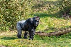 Мужская горилла стоит на смотреть травы стоковые изображения rf