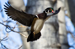 Мужская деревянная утка в полете Стоковые Изображения RF