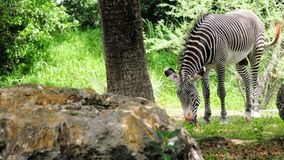 Мужская зебра Стоковое Фото
