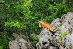 Мужская зеленая игуана, игуана игуаны, на утесах показывая защитительные головные bobs и подгрудок Стоковая Фотография