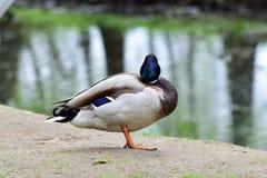 Мужская дикая утка оставаясь на том основании Стоковое Изображение RF