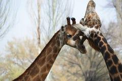 Мужская и женская ласка жирафа стоковое изображение rf