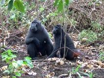 Мужская и женская макака черноты Celebes Стоковая Фотография RF