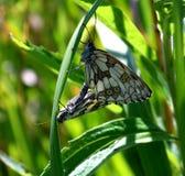 Мужская и женская ответная часть бабочки Стоковые Фото