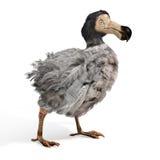 Мужская иллюстрация птицы додо Стоковые Фото