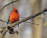 Мужская кардинальная воробьинообразная птица Стоковая Фотография RF