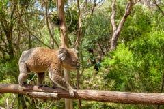Мужская коала Виктория Австралия Стоковая Фотография