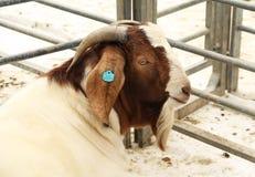 Мужская коза бура Стоковое Изображение RF