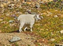 Мужская коза горы, национальный парк ледника Стоковое Изображение RF