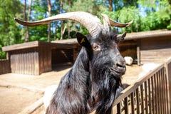Мужская коза рассматривает загородка стоковая фотография
