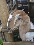 Мужская коза Стоковая Фотография RF