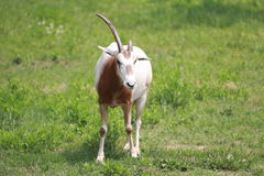 Мужская красная антилопа Стоковые Фото